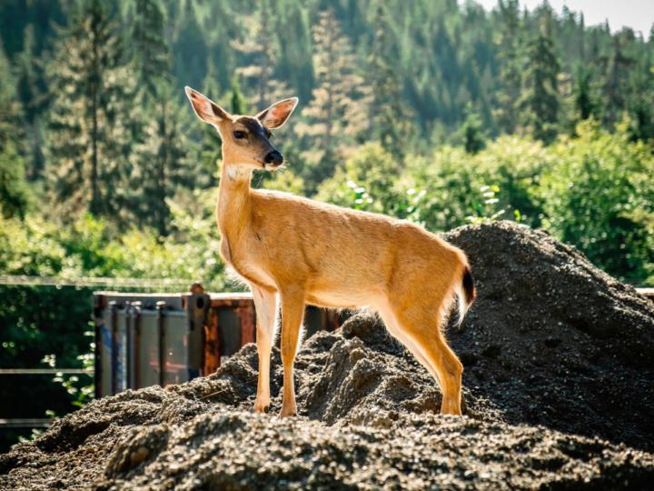 alaska-deer